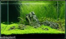 Giant Hairgrass Eleocharis Vivipara Bunch Live Aquarium Plants BUY2GET1FREE*