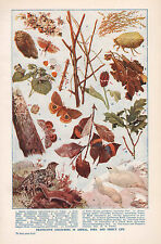 1947 DOUBLE-SIDED PRINT ~ PROTECTIVE COLOURING STICK INSECT WINTER PLUMMAGE ~