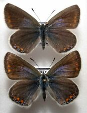 Polyommatus icarus 2 females from PL (mounted)
