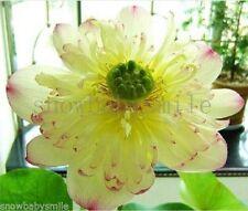 10 Ms Bury Bonsai Lotus Seeds Bowl Nelumbo Nucifera Pond Flower Water Plant