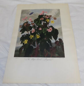 1951 REPRINT of c1800 FLORAL Print///THE OBLIQUE-LEAVED BEGONIA