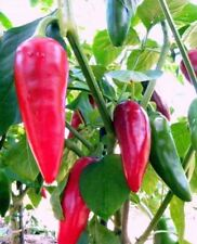 25+ Organic Heirloom Piment d'Espelette Basque Treasure Pepper Seeds-W 107