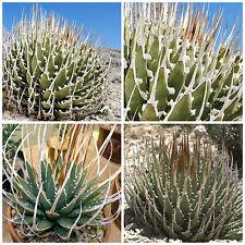 50 semi di Agave utahensis var. eborispina , succulente,seed succulents
