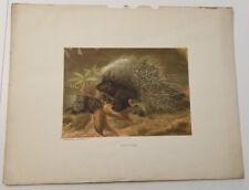 Chromolithograph Circa 1890 Antique Selmar Hess, Louis Prang Porcupine
