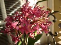 Pink  CRUCIFIX / Epidendrum Orchid plant - 1 plant