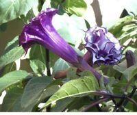 "Dark Purple Black DOUBLE DATURA Live Plant Angel Trumpet Brugmansia 10""Tall"