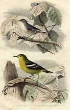 Antique bird print Motacilla kwikstaart Buffon 1856