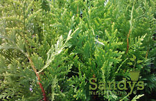 "Arborvitae-Thuja  'Green Giant' ~Lot of 15~ 12-16"" tall"