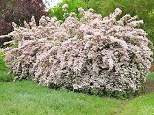 25 Ruys Pink Beauty Bush Seeds - Kolkwitzia amabilis
