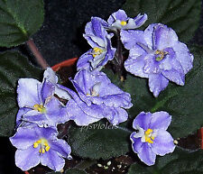 african violet Harmony's Cotton Candy pair of leaves