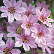 Clematis Nelly Moser pink flowers deeper bar May/June & September 1 litre pot