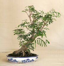 10 graines MIMOSA D'HIVER(Acacia Dealbata)BONSAI Z404 SILVER WATTLE SEEDS SAMEN