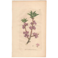 Sowerby antique 1st ed 1795 hand-colored engraving botanical Pl 1381 Mezereon