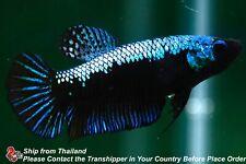 New listing Live Betta Fish Black Blue Turquoise Female Hmpk #C281