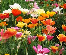 MIXED POPPY 1000+ seeds FLOWER GARDEN cool climates easy to grow annual colour