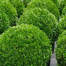 BUXUS SEMPERVIRENS CLASSIC EVERGREEN SHRUB PERFECT FOR HEDGING 50 SEEDS PER PACK