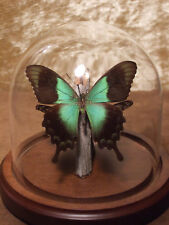 Papilio peranthus  Butterfly Dome