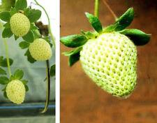 Immergrün mit zahlreichen Blüten : Winterharte Gelbe Garten-Erdbeere - Saatgut