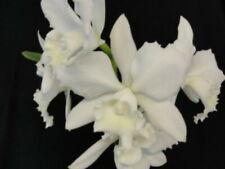 """New listing Bin) C. Hawaiian Wedding Song 'Virgin' Cattleya Orchid Plant 2 1/2 """" Pot"""