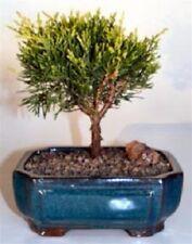 "This Golden Joy Shimpaku Juniper7 years old, 9""-10"" tallOutdoor bonsai tree"