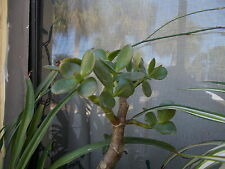 Rooted Jade plant cutting for sale