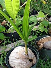 Coconut Tree Malayan Dwarf small plant seedling free shipping
