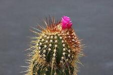 Coleocephalocereus purpureus @J@ rare columnar cacti exotic cactus seed 30 Seeds