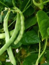 CUT SHORT Green Beans-HEIRLOOM-150 Bean seeds from 2017