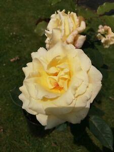 Elina   Hybrid Tea Rose  7ltr Potted Rose  Yellow
