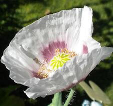 1 gram ~2,000 seeds Persian White Peshawar exotic Poppy Seeds Papaver somniferum