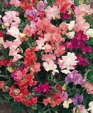 Sweet Pea - Winter Elegance - 25 seeds - Annuals & Biennials