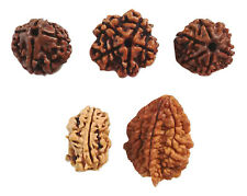 2 3 4 5 6 MUKHI RUDRAKSHA BEADS FACE RUDRAKSH BEADS FOR YOGA & MEDITATION