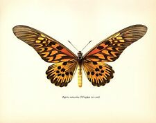 "1963 Vintage PROCHAZKA BUTTERFLY ""DRURY"" ANTIMACHUS COLOR offset Lithograph"