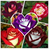 250Pcs Red White Osiria Ruby Rose Flower Rare Seeds Seed Home Garden Seeds F7I9