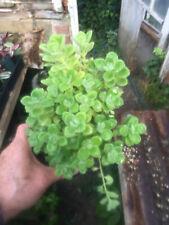 House Plant / Camphor plant, lg.