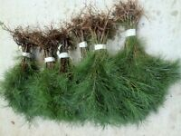 25 Burnt Mountain White pine Starter trees 10-13 inch tall transplant seedlings
