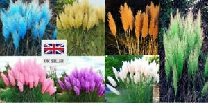 Rare Pampas Grass Seeds Plant Flowers Home Garden UK STOCK