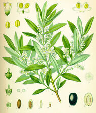 Semillas de Olivo  (Olea europaea) seeds, bonsai
