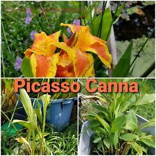 Picasso Canna, bog plant, pond plant, Free Ship 5 plants