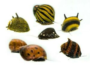 Mixed Nerite Snails, Fresh Water Snail