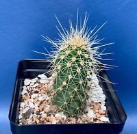 "ECHINOCEREUS SPINIGEMMATUS IN A 4"" POT, SEED GROWN CACTUS PLANT, #1314"