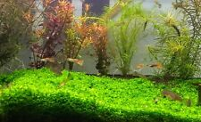 Micranthemum 'Monte Carlo' Live Aquarium foreground Plants 5*3 in thick carpet