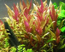 *Buy 2 Get 1 Free* Pink Telanthera Fish Tank Plants Aquarium Plants ✅