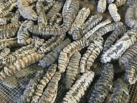 Mexican Natural Sun Dried Wild Caught Sea Cucumber Large 8 oz