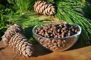 Siberian Pine nuts Cedar. Nuts in shell. Collected in the Altai Mountains.