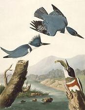 Audubon Reproductions:Birds of America: Belted Kingfisher: Fine Art Print