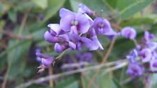 Hardenbergia violacea - Sarsaparilla Vine -15 seeds