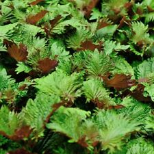 Vegetable Perilla Bi Colour Shiso Japanese Basil Appx 340 seeds