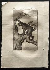 1799 - Buffon - L'indri à bourres - Gravure zoologie