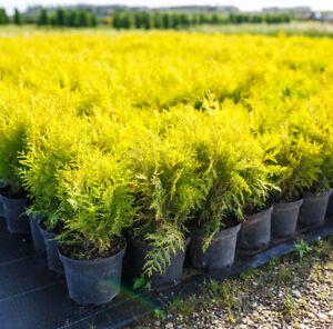 40 Golden Thuja Tree Seeds (Thuja orientalis) Arborvitae Cedar Hedge Row